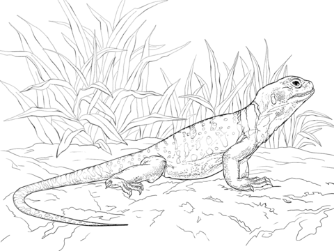 480x360 Common Collared Lizard Coloring Page Free Printable Pages