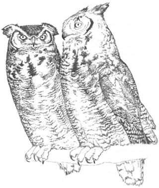 320x380 Horned Owl