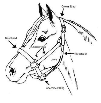334x343 Horse Logic How To Safely Introduce Your Horse To Leading