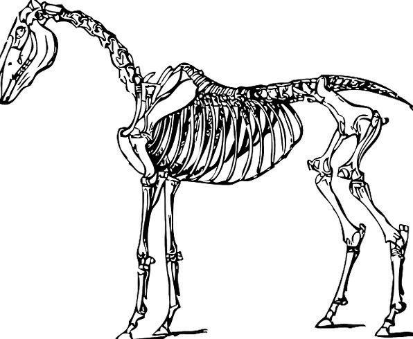 596x490 Horse, Mount, Medical, Structure, Health, Skeleton, Minimum
