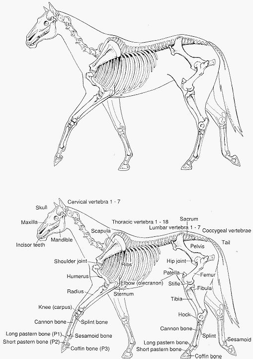 509x723 Horse Anatomy Pictures Think Like A Horse Rick Gore Horsemanship