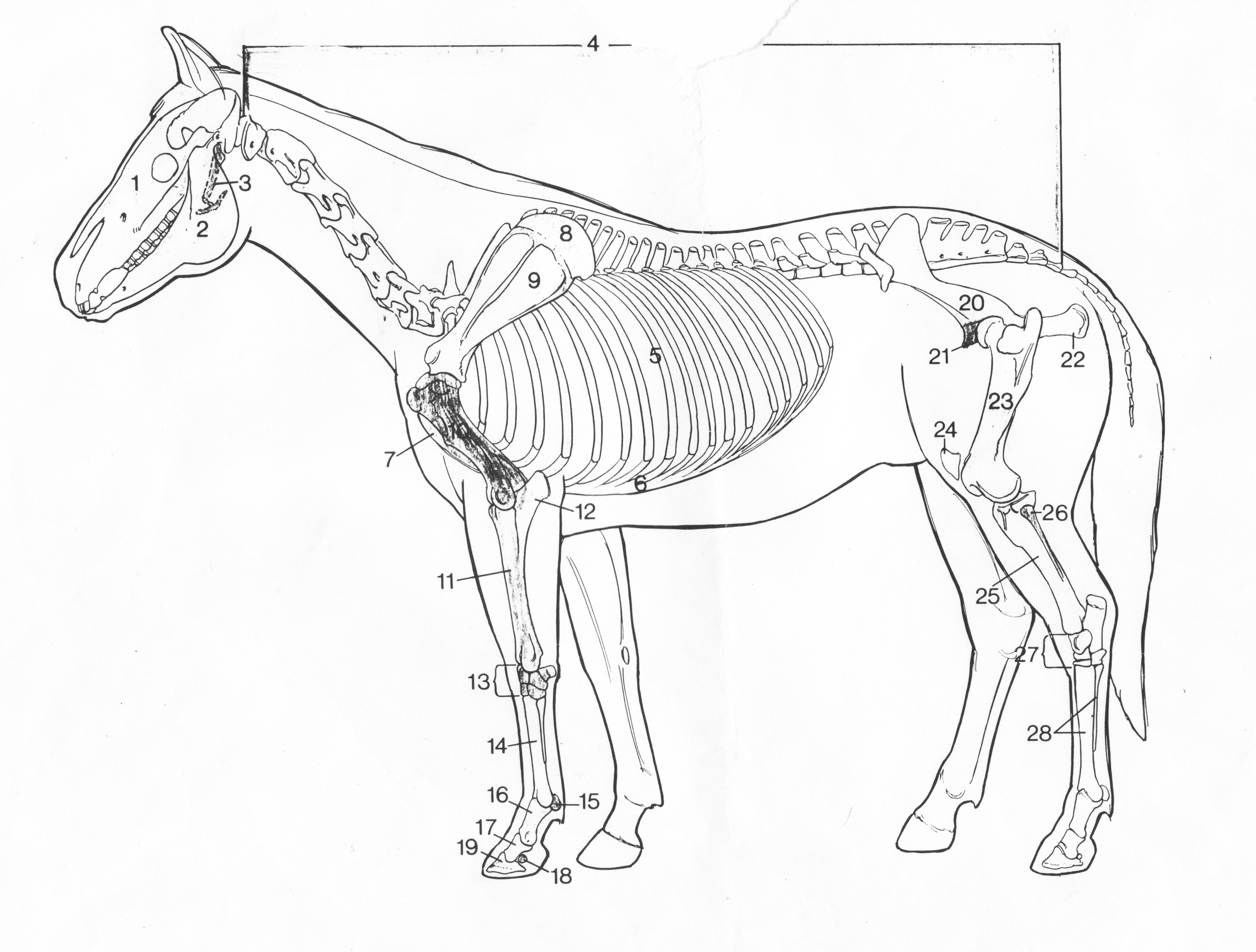 4828x3661 The 11 Systems Of The Horse The Skeletal System Equiphoria