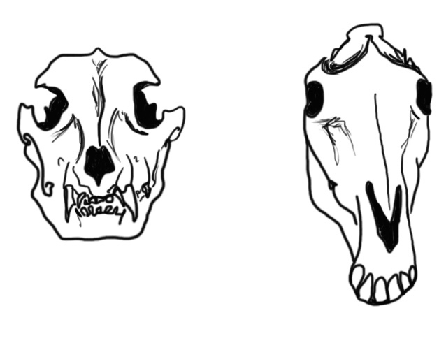 638x491 Dog Horse Skull Front View Comparison Of A Dog