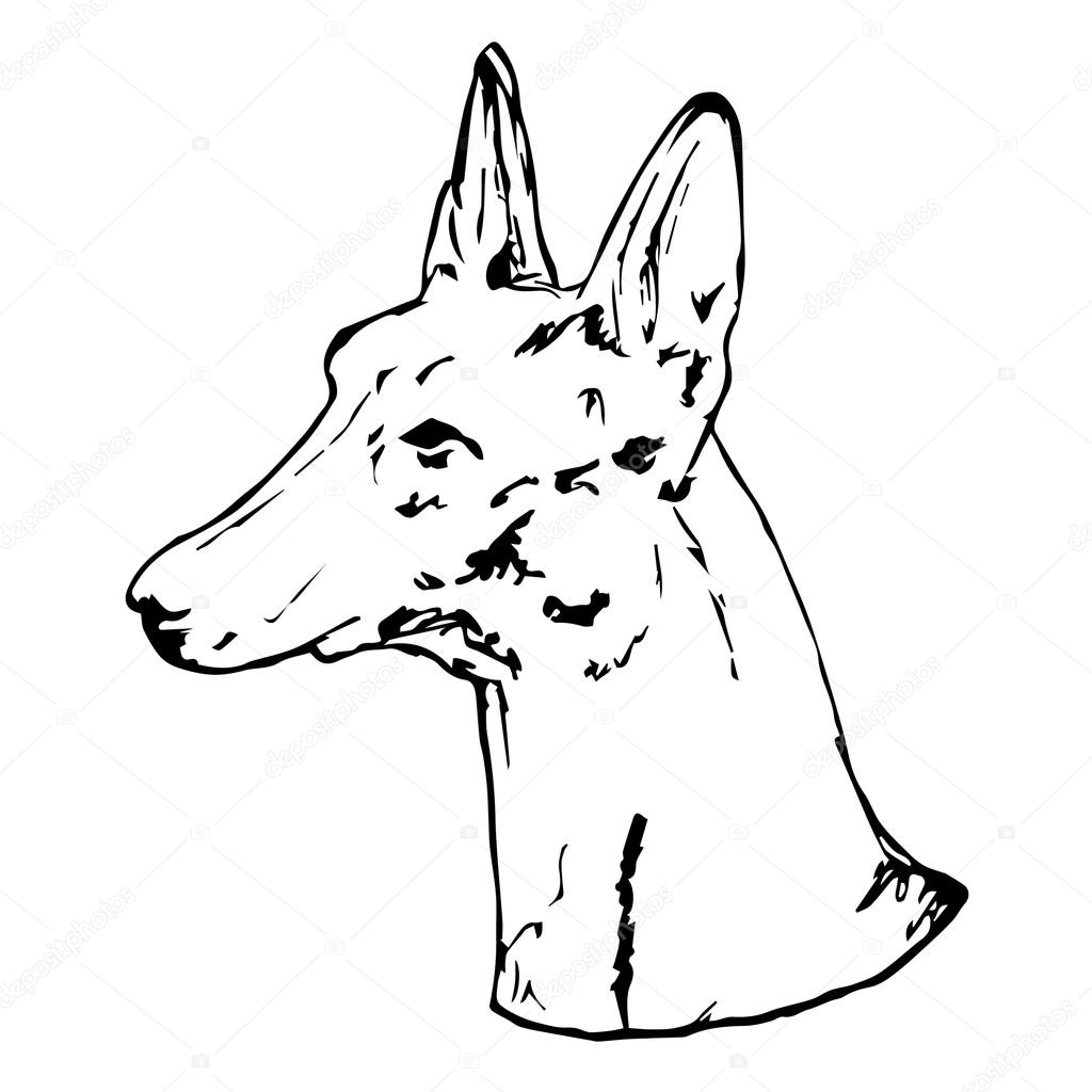 1024x1024 Graphic Vector Illustration Of Pharaoh Hound Dog. Isolated Vector
