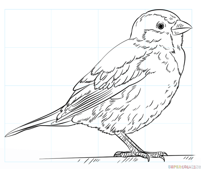 685x575 How to draw a house sparrow Step by step Drawing tutorials