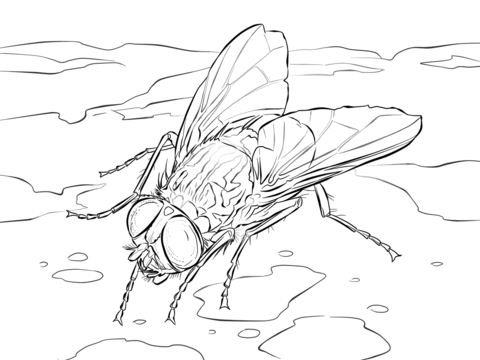 480x360 House Fly Coloring Page Free Printable Coloring Pages