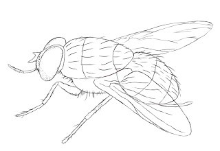 320x220 How To Draw A Fly