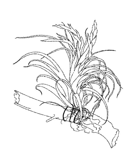 483x529 Learn About The History Of Tillandsia Or Air Plants, And Discover