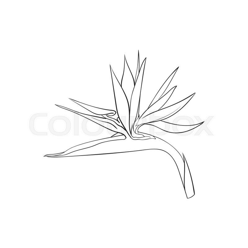 800x800 Single Bird Of Paradise, Strelizia Tropical Flower, Sketch Style
