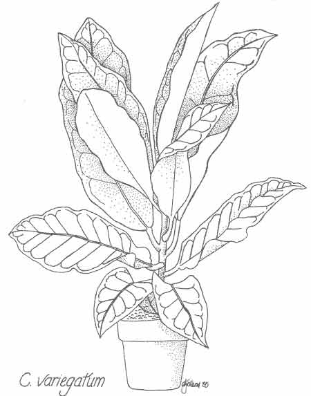 450x573 Codiaeum Variegatum