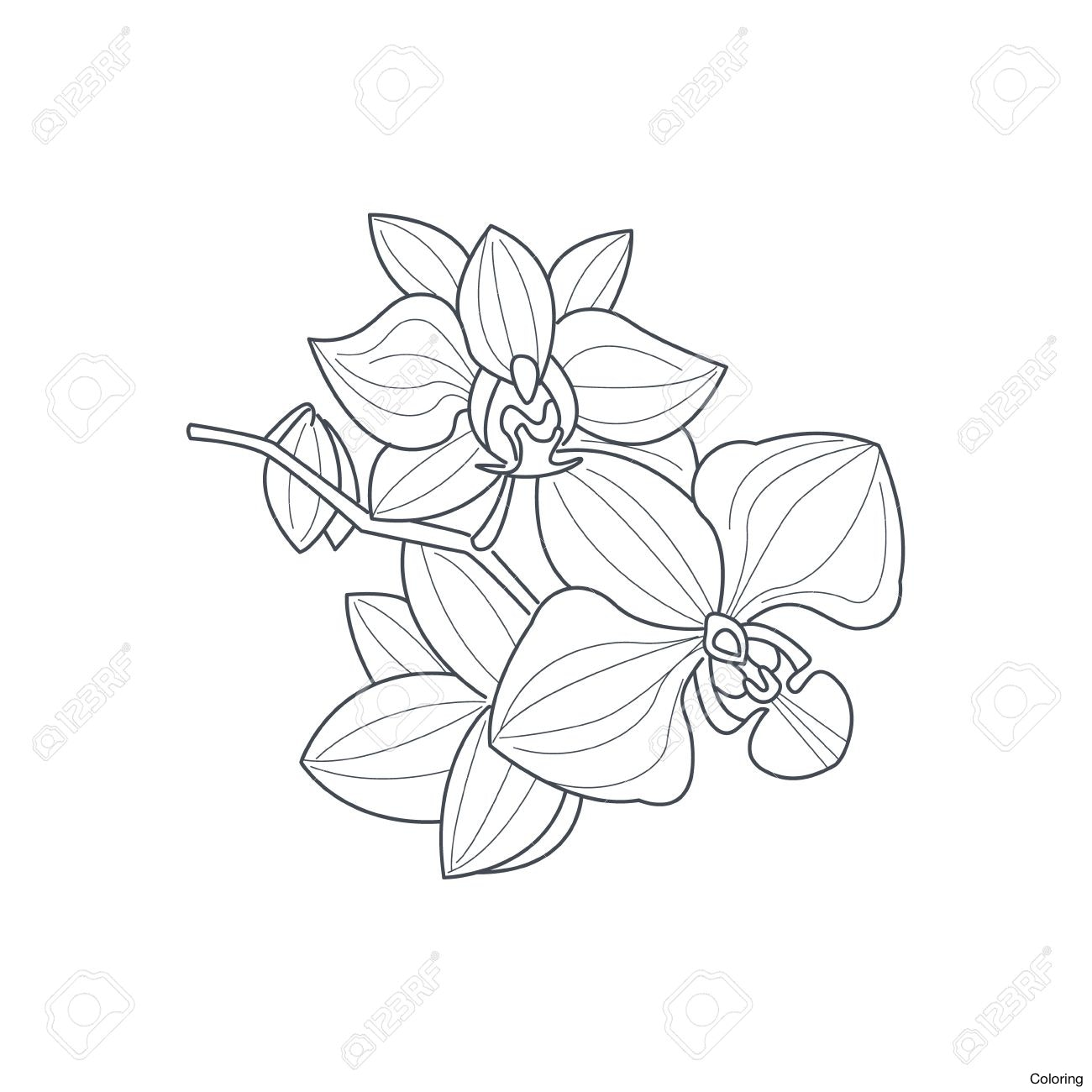 1300x1300 Orchid 15325125 Simple Drawing Coloring Royalty Free Stock Photo