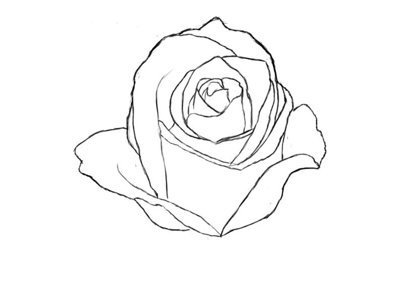 800x600 Drawn Rose