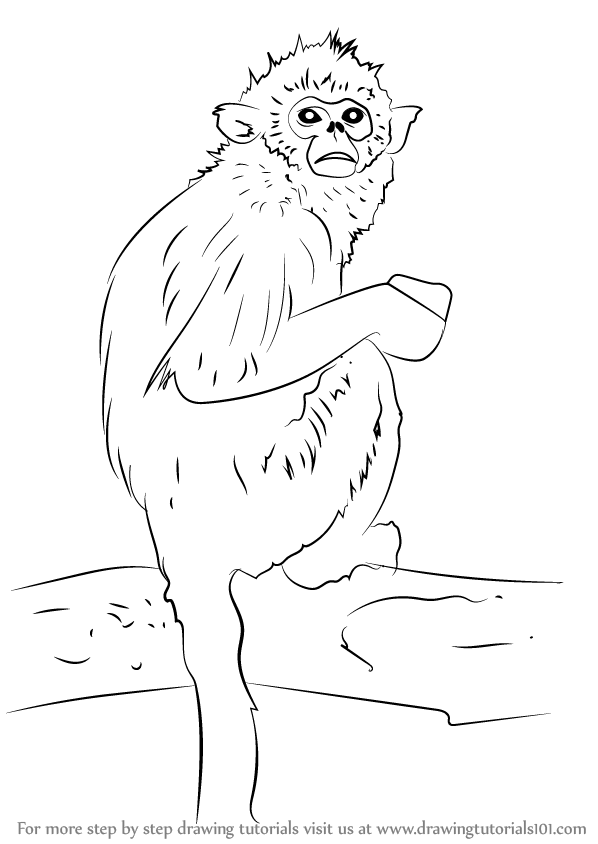 598x844 Learn How To Draw A Golden Snub Nosed Monkey (Primates) Step By