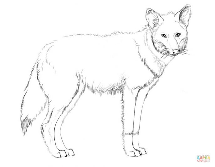687x533 Howling Coyote Coloring Pages Tags Coyote Coloring Pages
