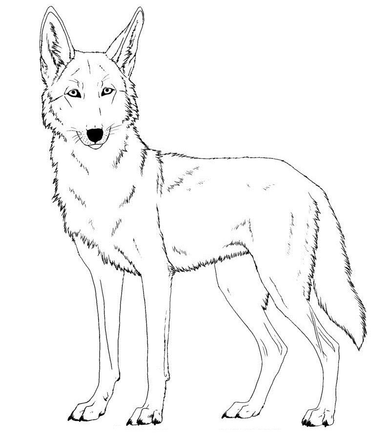 797x900 North American Wildlife Coyote Coloring Pages Free Printable Page