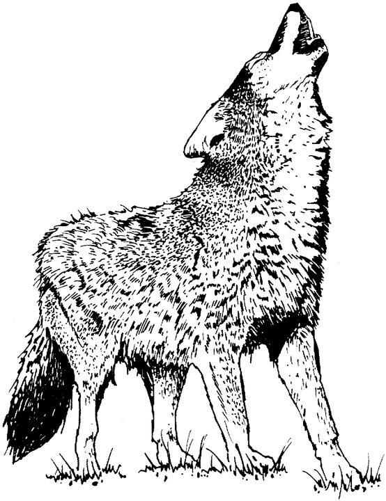 554x720 Wild Harmonies Wolves And Wilderness In Words, Art And Music