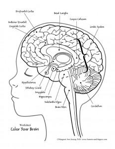 232x300 Draw Brain Anatomy