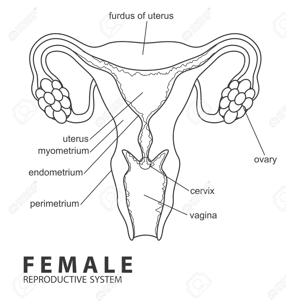 1210x1300 Female Reproductive Tract Of Cow Drawing Female Reproductive
