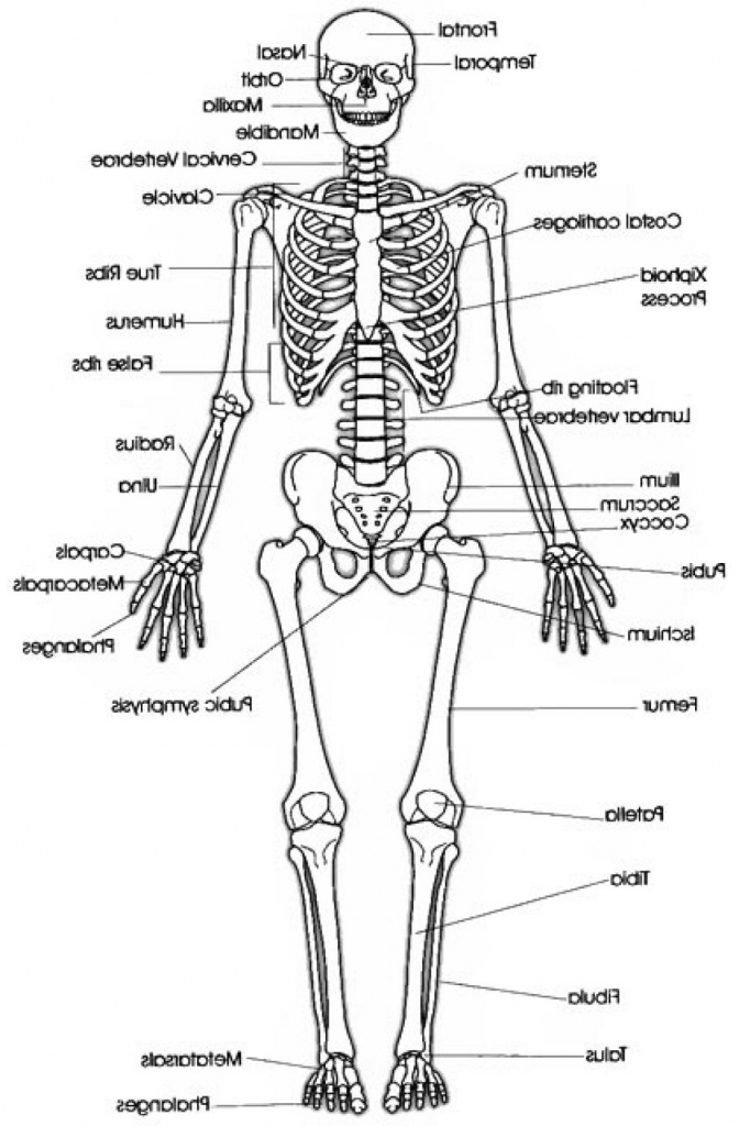 672x1024 Human Body Skeletal System Skeletal System Drawing Human Skeletal