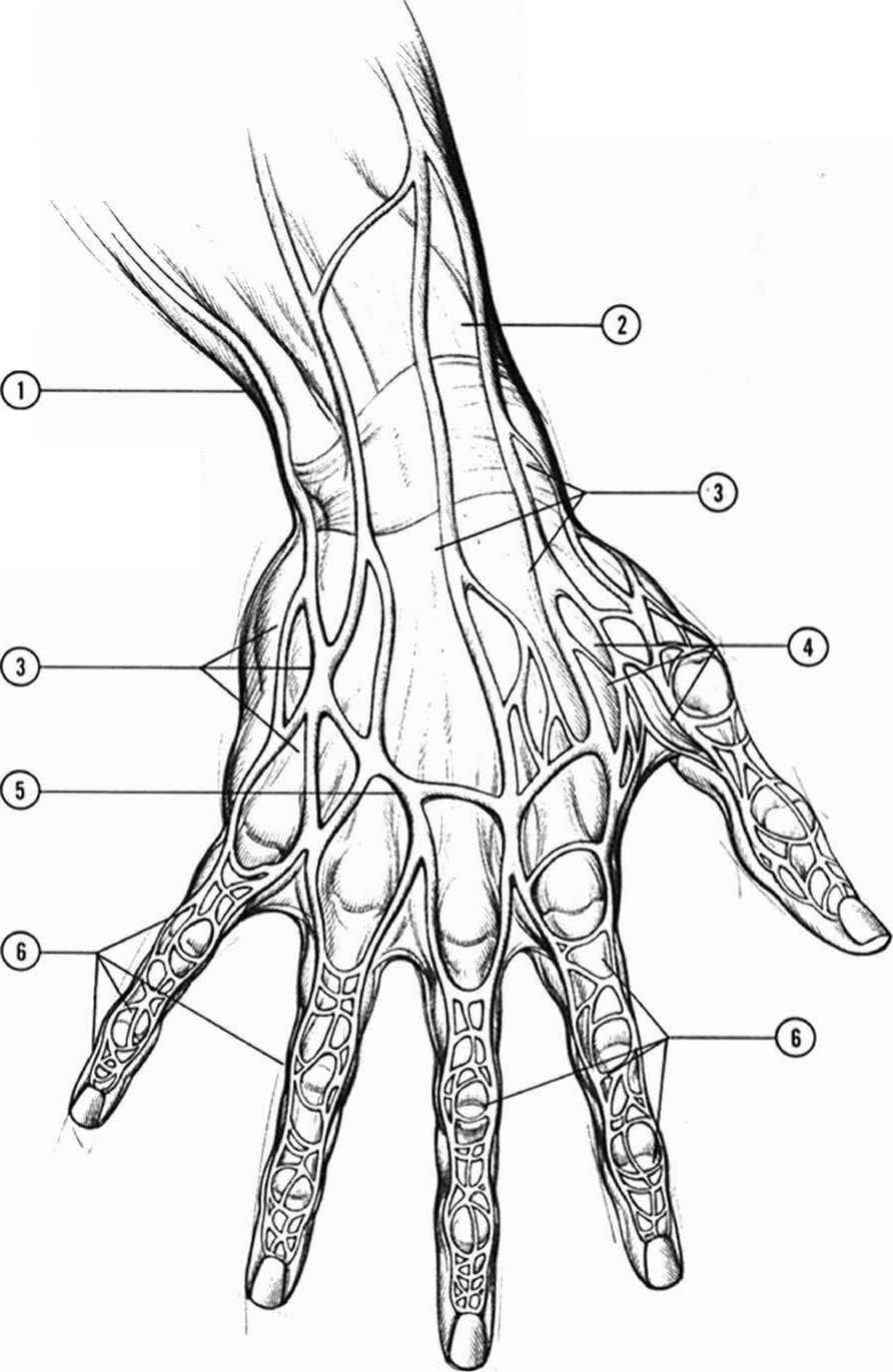 892x1371 Detailed Diagram Veins In Hand Anatomyand Structure