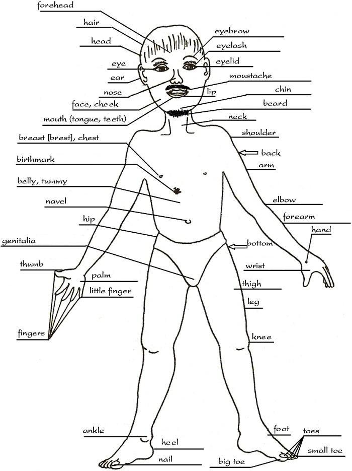 Human Body Structure Drawing At Getdrawings Free For Personal