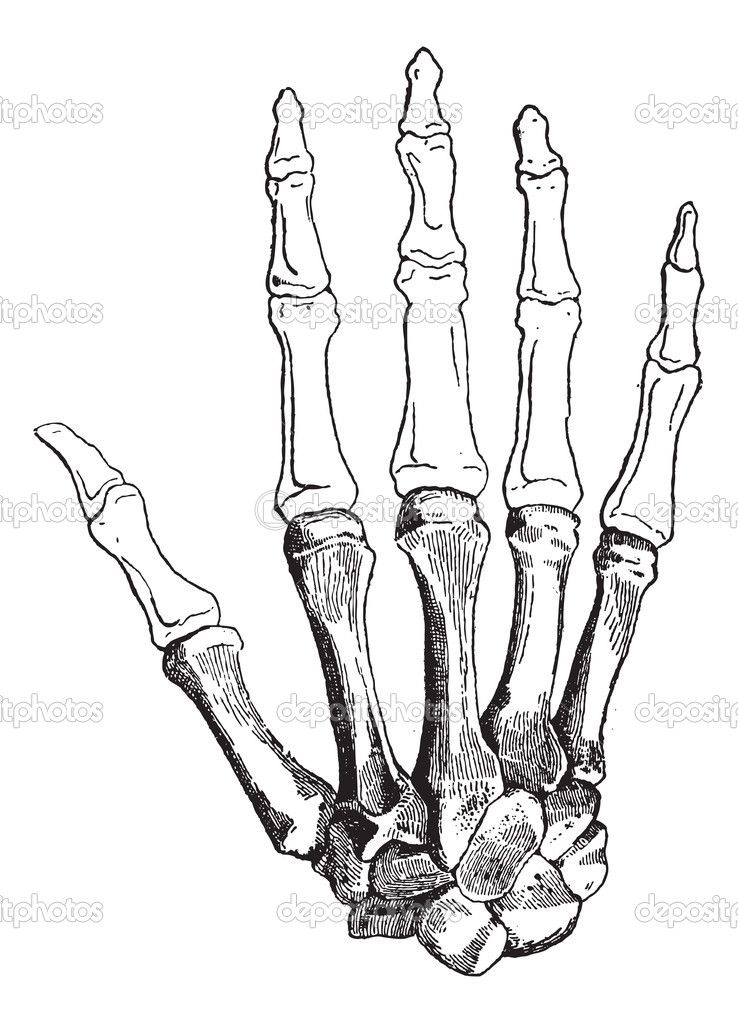 Human bone drawing at getdrawings free for personal use human 738x1023 google image result for ccuart Choice Image