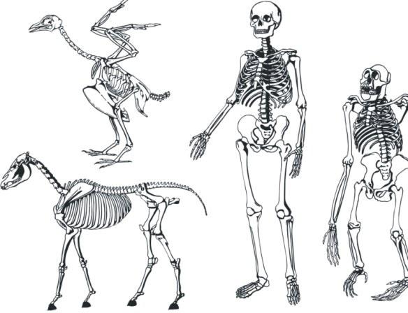584x448 Bones Skeleton Vector Free Vector In Coreldraw Cdr ( Cdr ) Vector