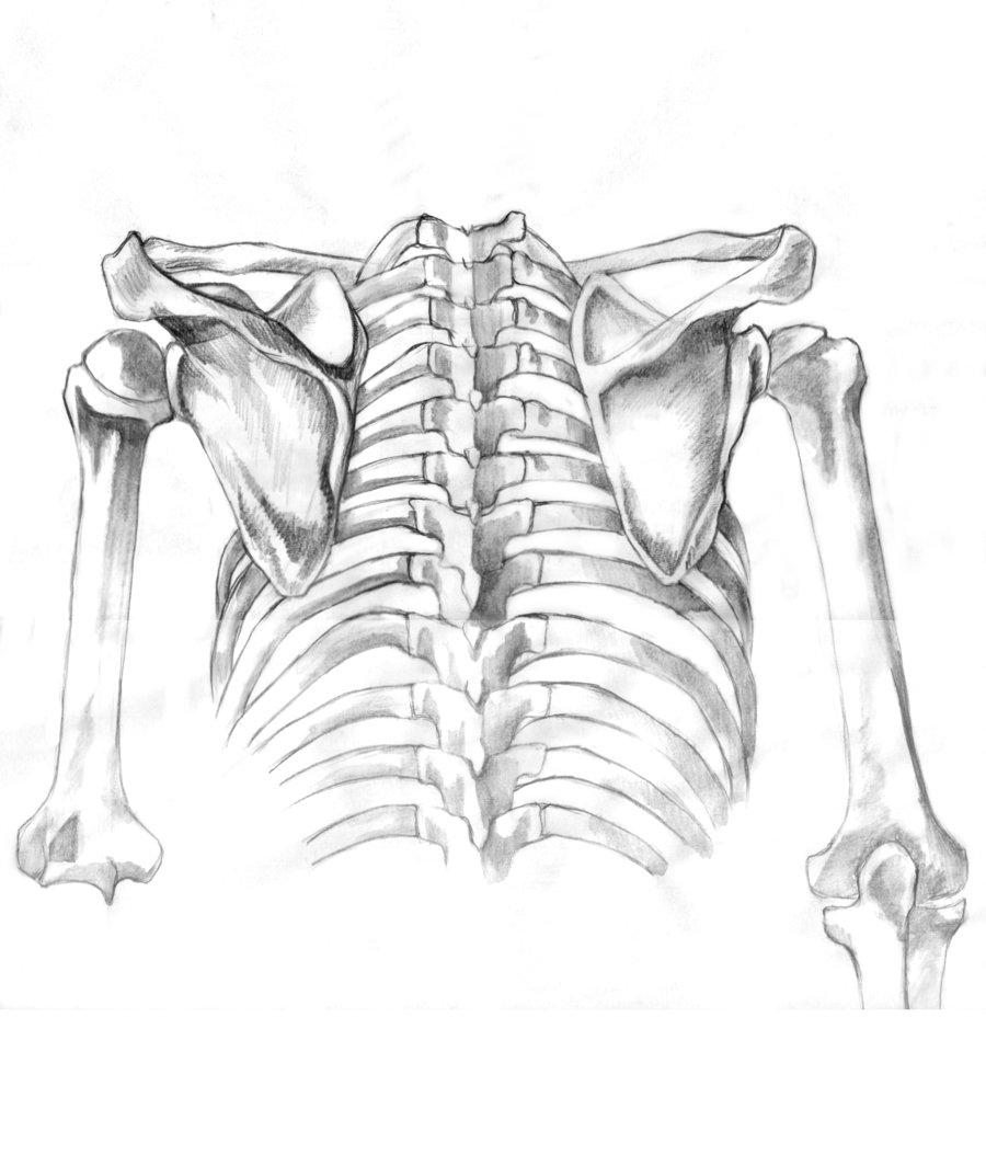 Human Bones Drawing At Getdrawings Free For Personal Use Human