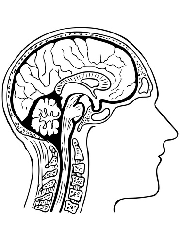 371x480 Human Brain Coloring Page Free Printable Coloring Pages