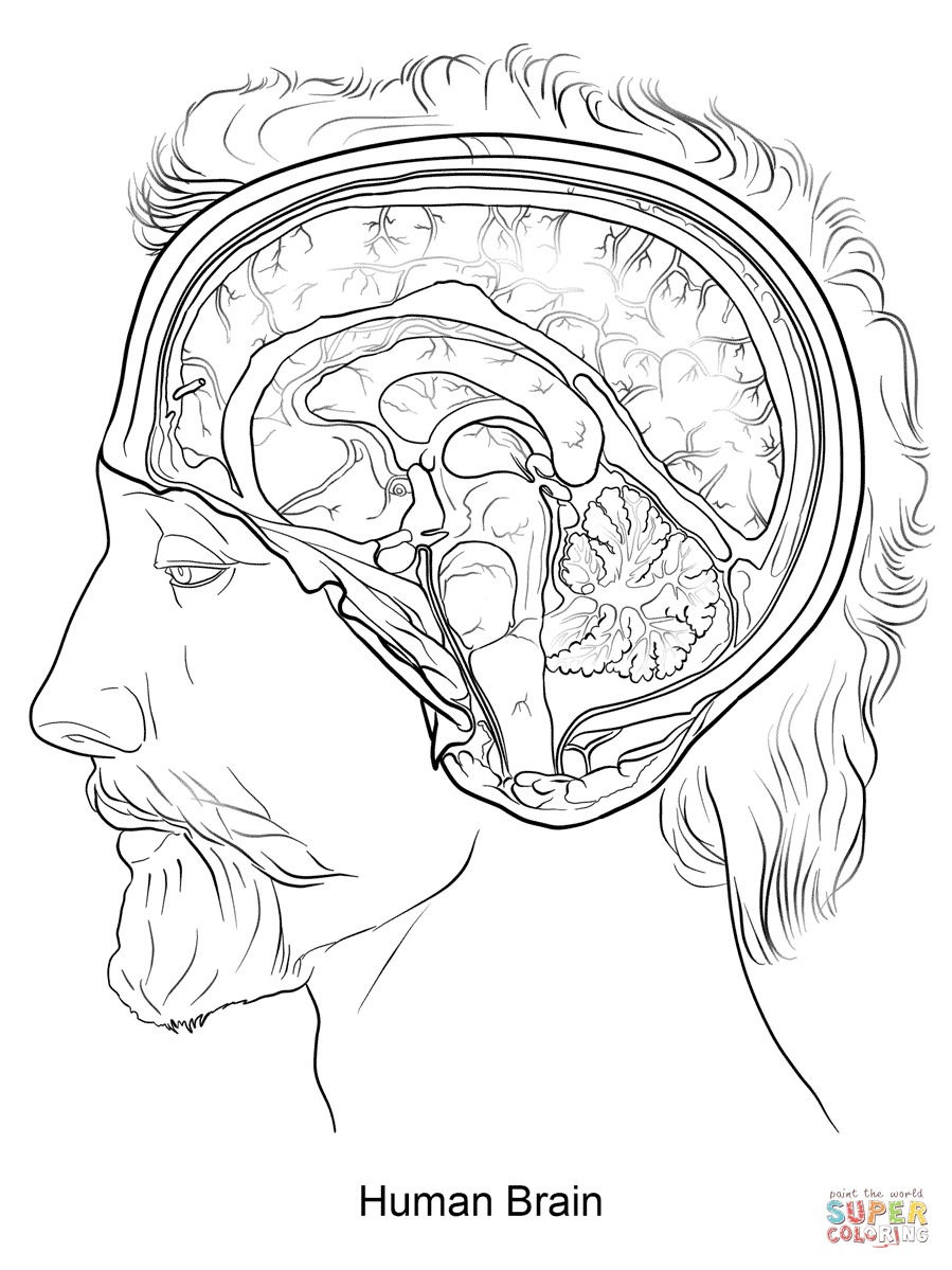899x1199 Human Brain Coloring Page Free Printable Coloring Pages