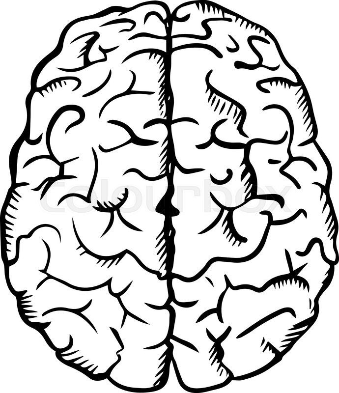 690x800 Human Brain Sketch In Ouline Style, Isolated On White,