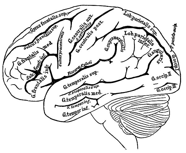 600x494 The Anatomi Of Human Brain Coloring Pages Bulk Color