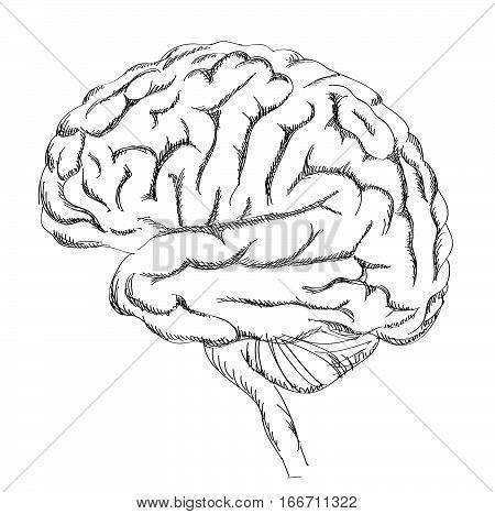 450x467 Brain Anatomy. Human Brain Lateral Vector Amp Photo Bigstock