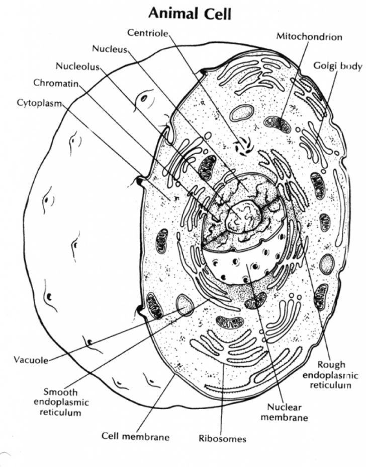Human Cell Drawing at GetDrawings | Free download