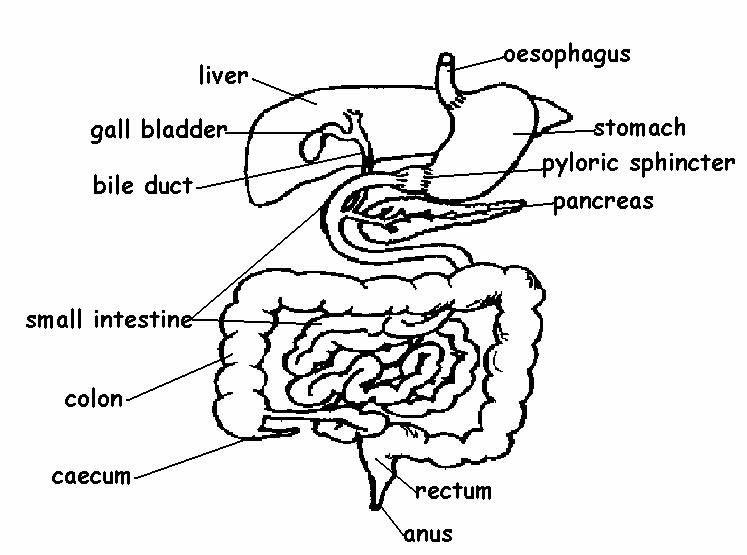 747x555 Digestive System Answers