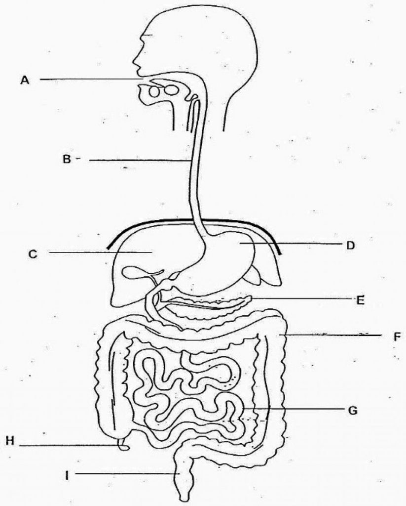 human digestive system drawing at free. Black Bedroom Furniture Sets. Home Design Ideas