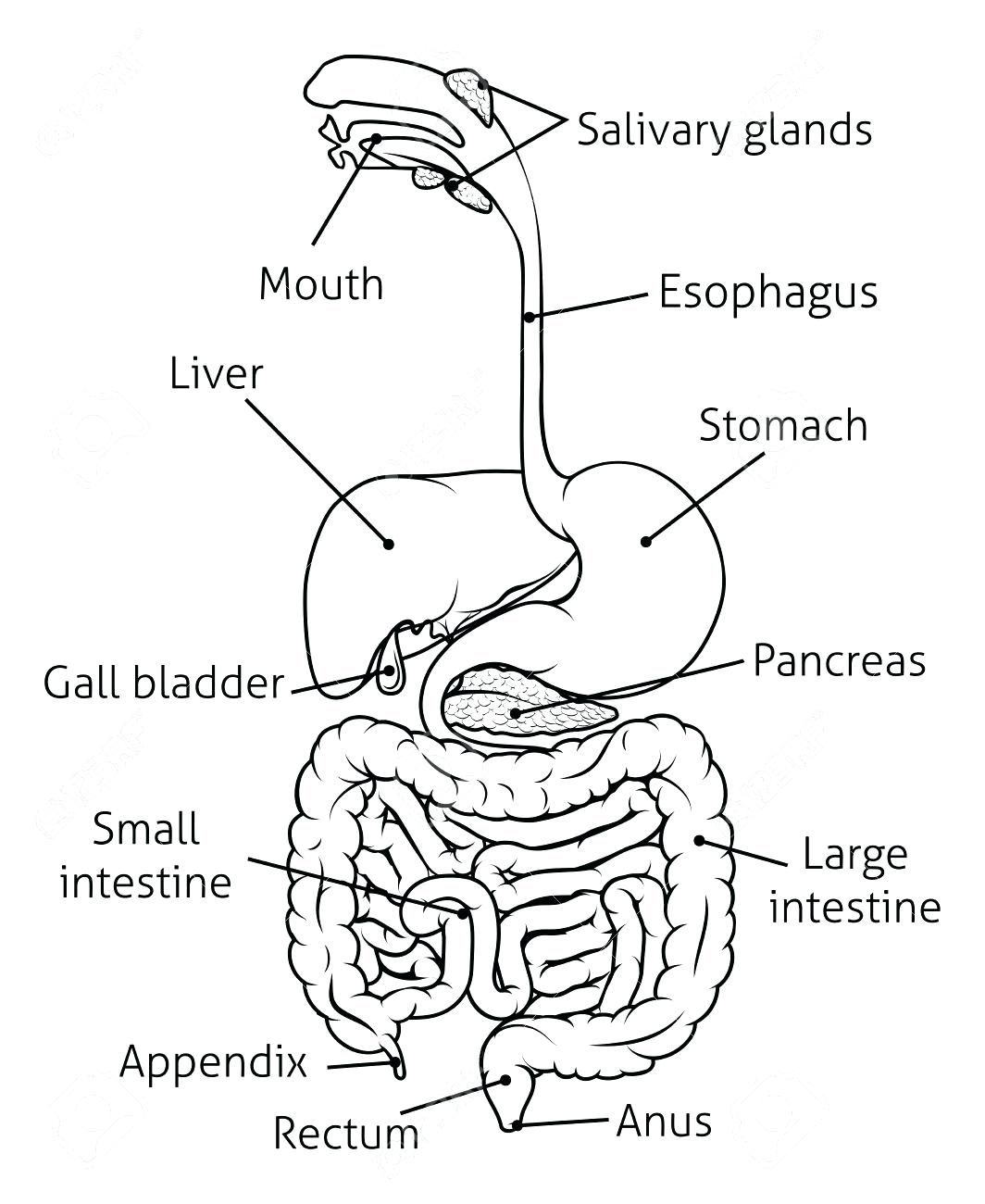 This is an image of Zany Drawing Of The Digestive System