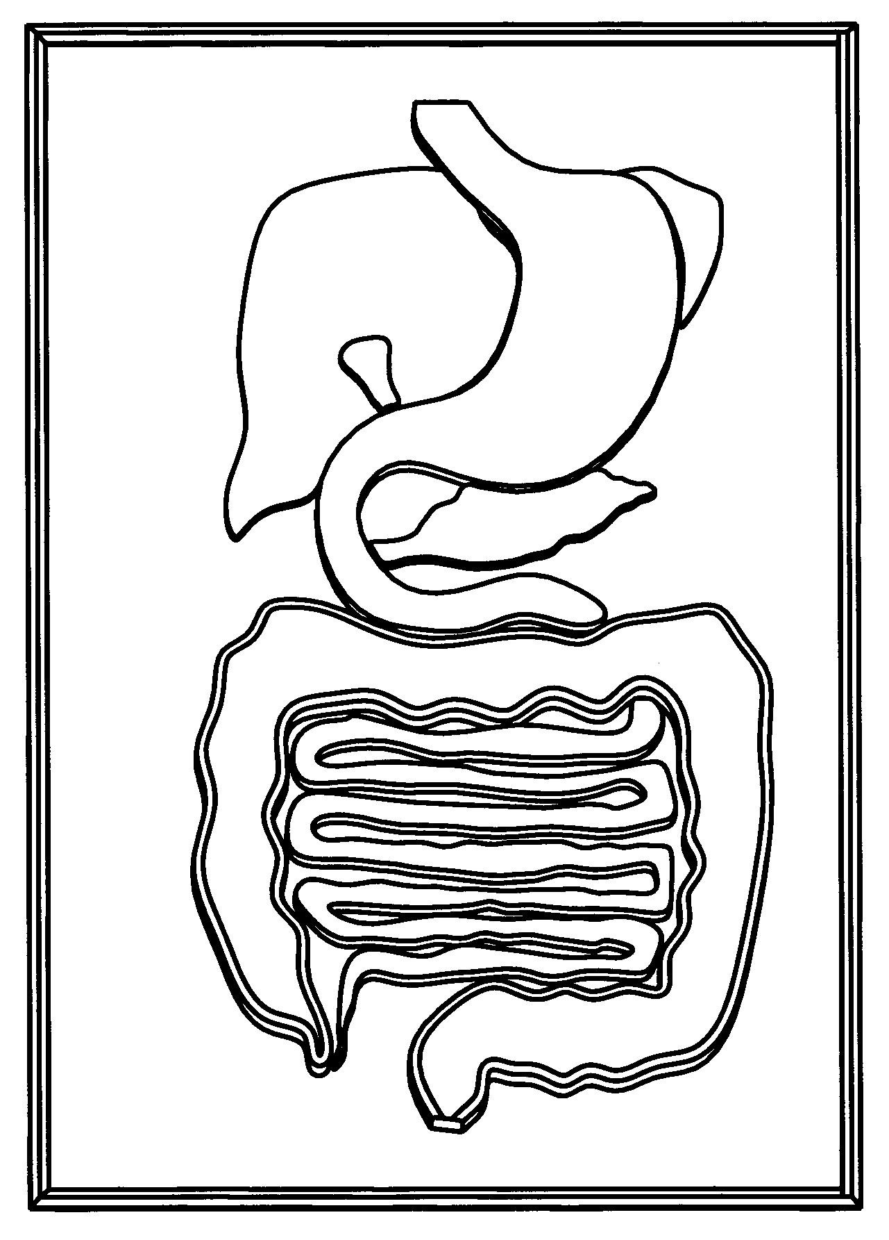 Human digestive system drawing at getdrawings free for 1281x1785 internalg ccuart Gallery