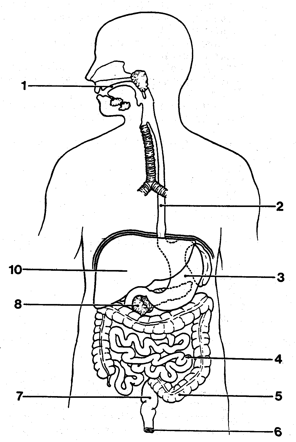 1195x1781 Outline Diagram Of The Digestive System Human Anatomy Chart