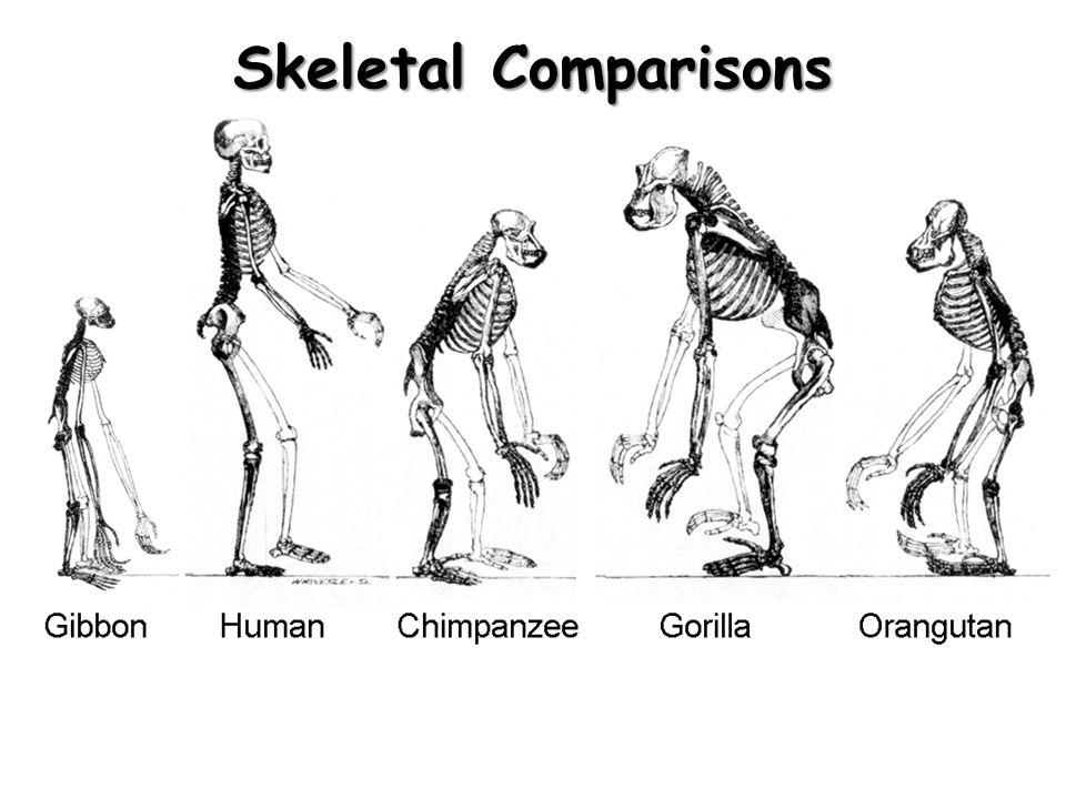 960x720 Human Evolution Courtesy