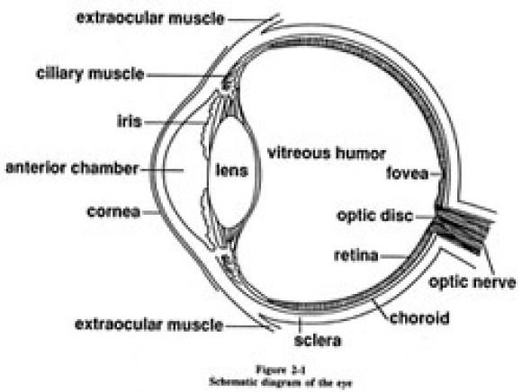 580x436 Diagram Of The Eye