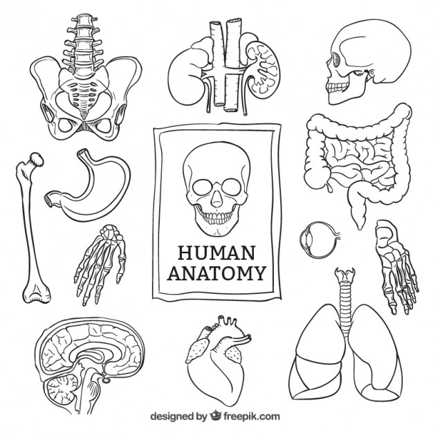 626x626 Anatomy Vectors, Photos And Psd Files Free Download