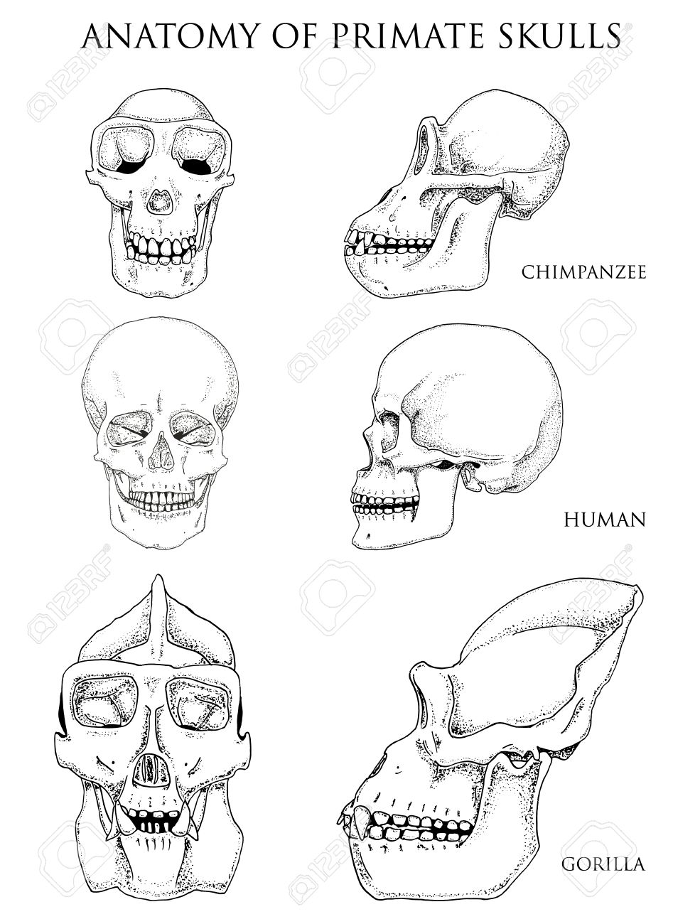 985x1300 Human And Chimpanzee, Gorilla. Biology And Anatomy Illustration