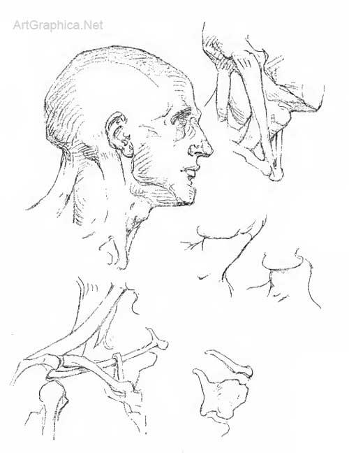 500x648 Anatomy Of The Neck, Art Instruction