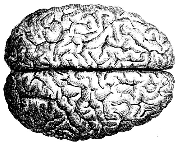 570x463 The Human Brain Human Anatomy The Human Skull Old Medical