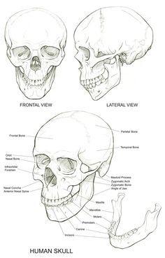 236x369 Human Skull Anatomy Drawing