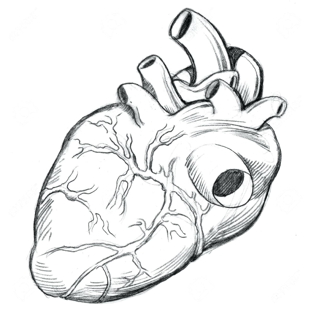 Human Heart Anatomy Drawing at GetDrawings | Free download