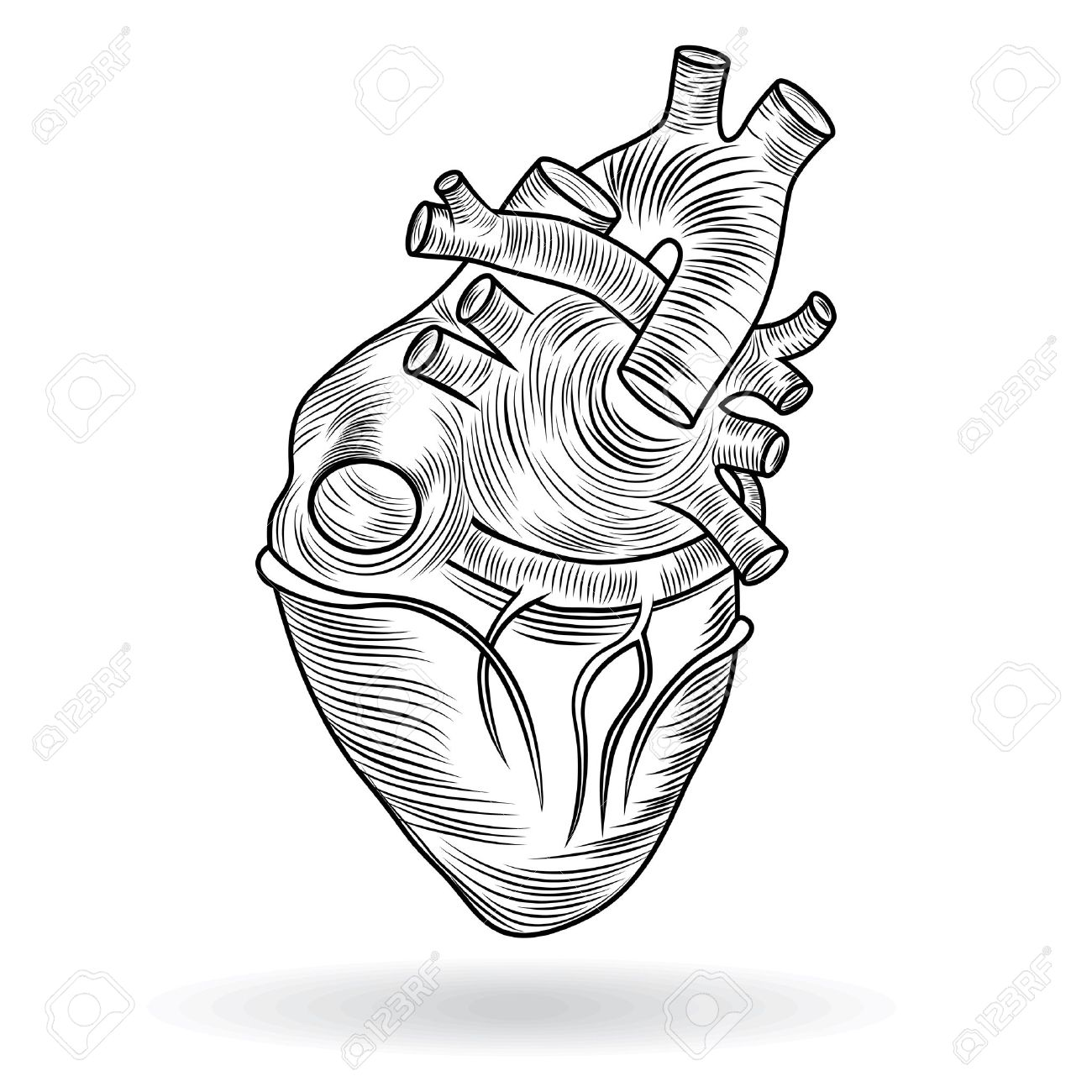 1300x1300 Heart Human Body Anatomy Sketch Isolated On White Background