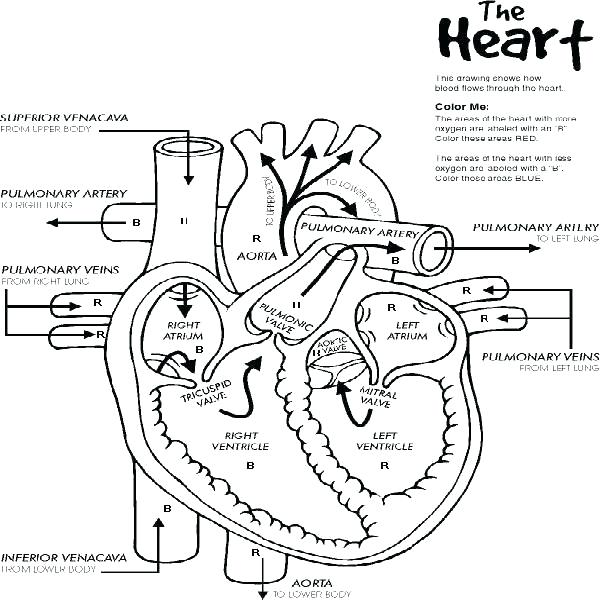 600x600 Human Anatomy Coloring Pages Heart Anatomy Coloring Pages How