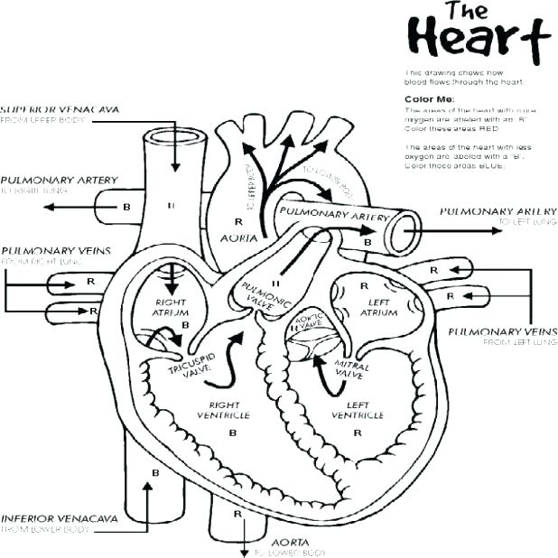 618x618 Human Heart Coloring Pages As How To Draw Human Anatomy Heart
